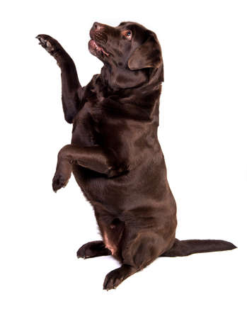 chocolate labrador: Concentrated and hungry chocolate labrador dog girl is begging for food. Isolated on the white background
