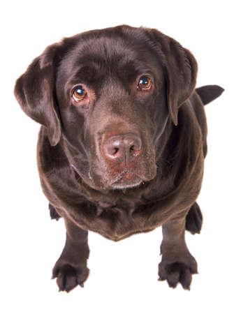 Chocolade labrador hond meisje is geïsoleerd op de witte achtergrond