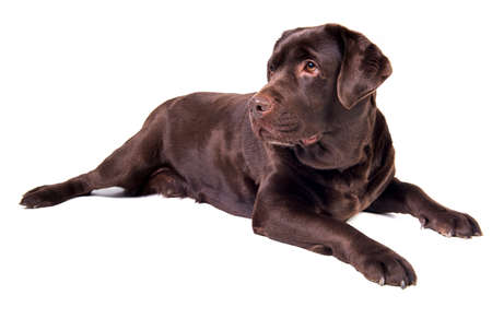 puta: Chocolate chica perro labrador está aislado en el fondo blanco