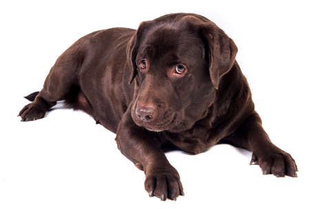chocolate labrador: Sad and hungry chocolate labrador dog girl is isolated on the white background