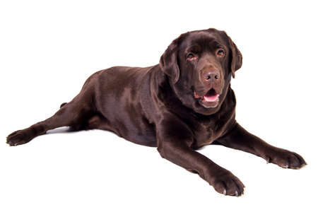 chocolate labrador: Chocolate labrador dog girl is isolated on the white background Stock Photo