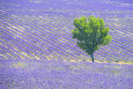 lavendin: Beautiful lavender filed in Provence with a lonely tree