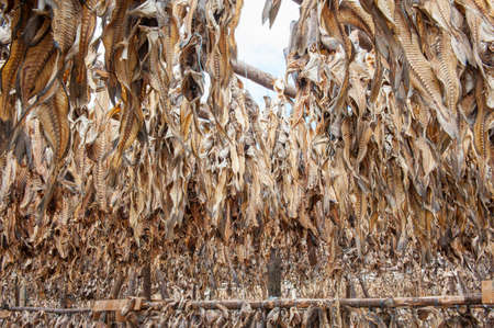 stockfish: Stockfish cod drying in the sun hanging on the wooden construction, Iceland