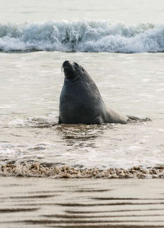 curio: Adult New Zealand sea lion Phocarctos hookeri on the Curio Bay beach as it is comming from the sea, Southland - New Zealand Stock Photo