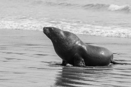 curio: Adult New Zealand sea lion Phocarctos hookeri on the Curio Bay beach as it is comming from the sea, Southland - New Zealand. Monochrome