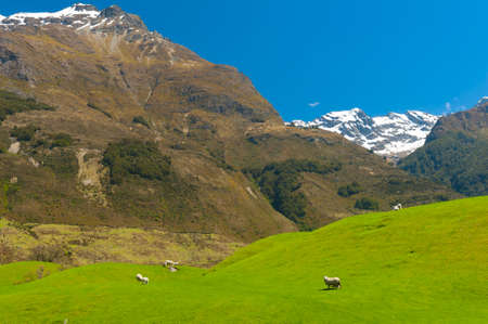 zealand: Beautiful landscape of the New Zealand - hills covered by green grass with herds of sheep with mighty mountains covered by snow behind. Glenorchy, New Zealand Stock Photo