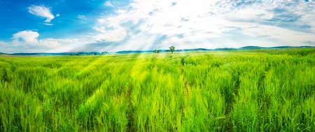 cebada: Campo de trigo verde joven fresco y un cielo azul con un sol brillante