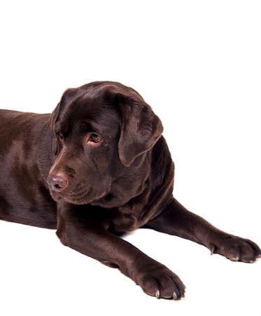 dog isolated: Chocolate labrador dog girl is isolated on the white background Stock Photo