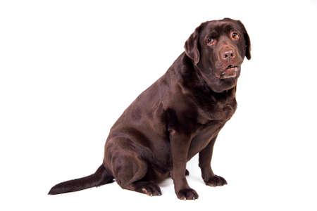 chocolate labrador: Sad chocolate labrador dog girl is isolated on the white background