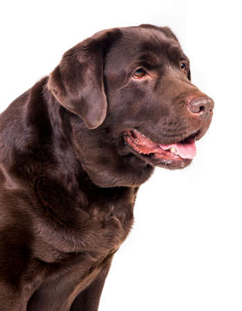 brown labrador: Chocolate labrador dog girl is isolated on the white background Stock Photo