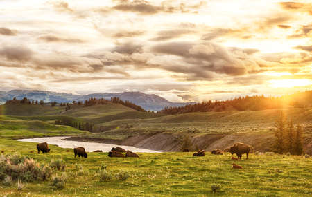 Herd of adult and baby buffaloes (bison bison) at sunset time. Yellowstone National Park, Wyoming, USA 版權商用圖片 - 55378733