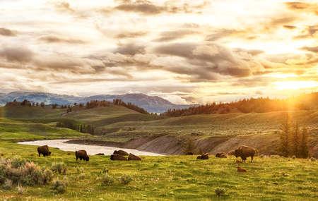 Kudde volwassene en baby buffels (bizon bison) bij zonsondergang tijd. Yellowstone National Park, Wyoming, Verenigde Staten