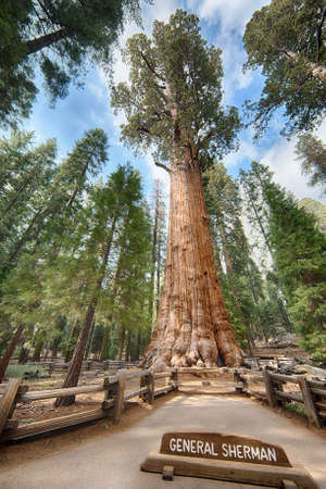 sequoia: General Sherman giant Sequoia tree (sequoiadendron giganteum) is the largest tree on the Earth, Sequoia National Park, California, USA
