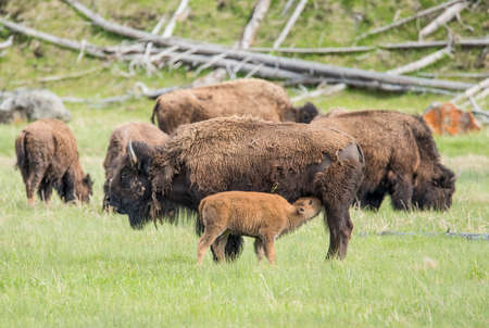 roam: Mother buffalo (bison bison) is nursing its baby. Yellowstone National Park, Wyoming, USA Stock Photo