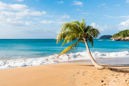 guadeloupe: Lonely coconut palm tree on a Pearl beach near village of Deshaies, Guadeloupe, Caribbean