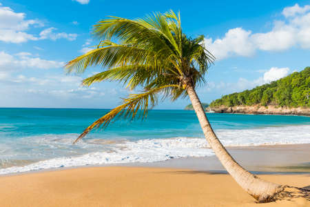 perle: Lonely coconut palm tree on a Pearl beach near village of Deshaies, Guadeloupe, Caribbean