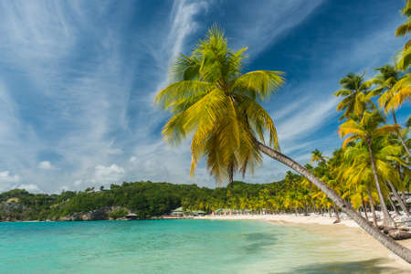 anne: Lonely coconut palm tree on the Caravelle beach in Sainte Anne, Guadeloupe, Caribbean