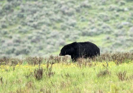 omnivore animal: Black Bear (Ursus americanus) seen in Yellowstone National Park. Wyoming, USA