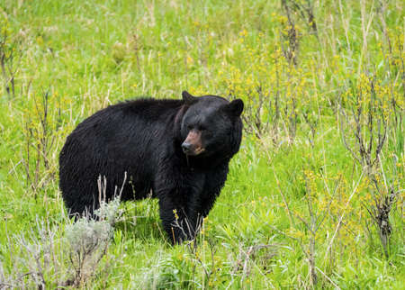 ursus: Black Bear (Ursus americanus) seen in Yellowstone National Park. Wyoming, USA