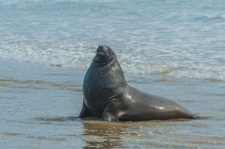 curio: Adult New Zealand sea lion (Phocarctos hookeri) on the Curio Bay beach as it is comming from the sea, Southland - New Zealand