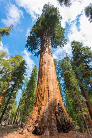 ジャイアント セコイアの木 (セコイアオスギ) セコイア国立公園、カリフォルニア州、アメリカ合衆国