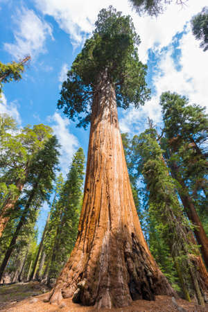 Giant Sequoia bomen (Sequoiadendron giganteum) in Sequoia National Park, Californië, Verenigde Staten Stockfoto