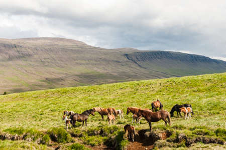 Icelandic horses are Rather small and very beautiful. The breed was Developed in Iceland and once outside the country Exported animals can not return Stock Photo