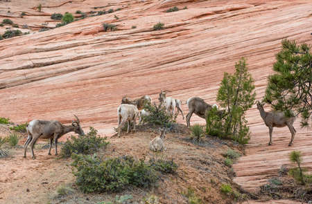 Bighorn sheep (Ovis canadensis canadensis) herd in Zion national park, Utah, USA Stock Photo