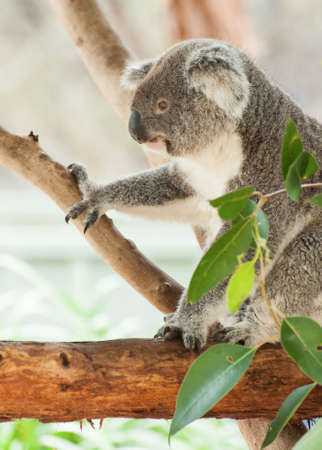 Hermoso koala oso (Phascolarctos cinereus) sentado en la rama del árbol de goma, Victoria, Australia