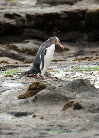 Endagered yellow-eyed penguin (Megadyptes antipodes) seen on rocks at Curio Bay, South Island - New Zealand