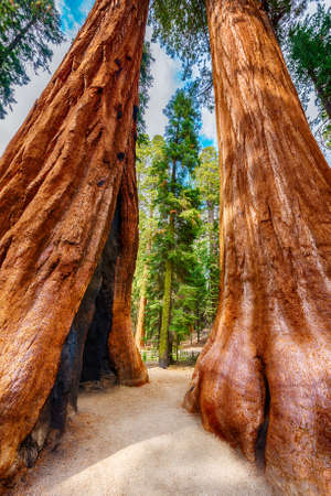 sierra: Two Giant Sequoia trees (sequoiadendron giganteum) in Sequoia National Park, California, USA. HDR