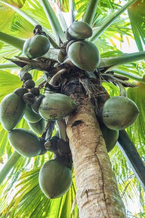 세이셸의 유명한 지방 특유의 코코넛