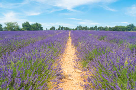 lavendin: Detail of a beautiful lavender filed in Provence, France