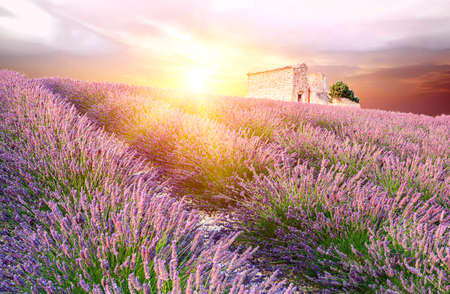 vaucluse: Sun is setting over a beautiful purple lavender filed in Valensole. Provence, France