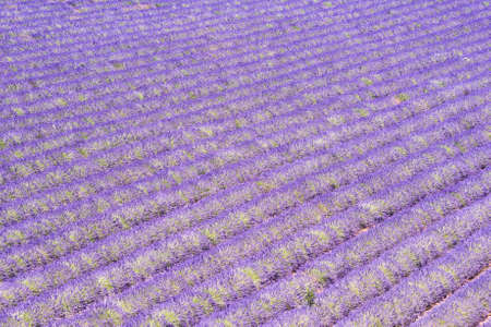 lavendin: Detail of a beautiful lavender filed in Provence, France Stock Photo