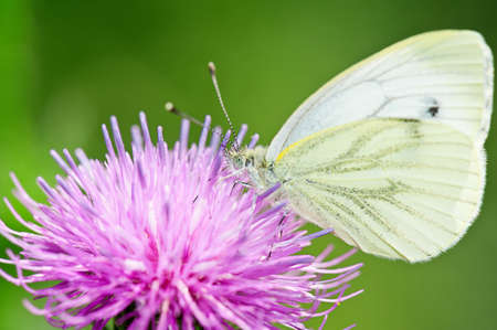 pieris: White Green-veined butterfly (Pieris napi) on a thistle