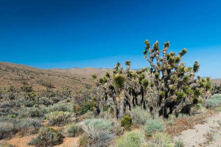 joshua tree national park: Many Joshua trees (Yucca Brevifolia) growing in the Californian desert, USA.