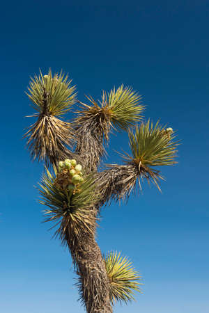 joshua: Many Joshua trees (yucca brevifolia) growing in the californian desert, USA. Photo taken against a blue sky Stock Photo