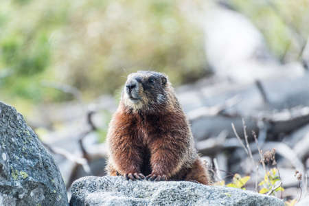 Yellow-bellied marmot (Marmota flaviventris) from the Grand Teton national park. Wyoming, USA Stock Photo