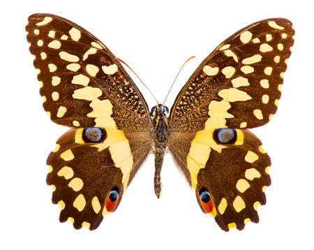 Citrus swallowtail (Papilio demodocus) is a brown and yellow butterfly living in Sub-Saharan Africa. Isolated on white Stock Photo
