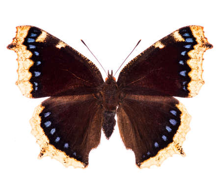 Camberwell beauty or mourning cloak (Nymphalis antiopa) butterfly native to North America and Europe isolated on a white background Фото со стока