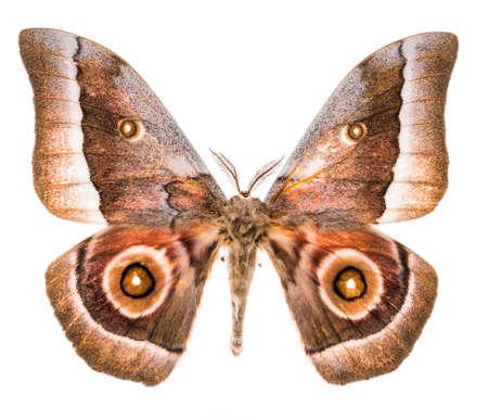 Emperor moth (Gonimbrasia zambesina ) from South Africa. Isolated on white background Stock Photo