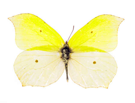 Common brimstone butterfly (Gonepteryx rhamni) isolated on a white background