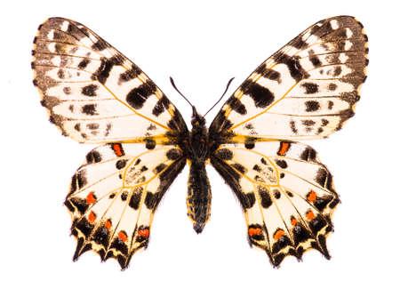 Caucasian festoon butterfly (Allancastria caucasica) isolated on a white background Stock Photo