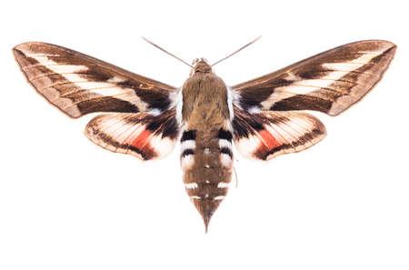 Männliche Labkrautfalkenmotte (Hyles gallii) lokalisiert auf weißem Hintergrund