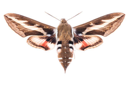 Male Bedstraw hawk-moth (Hyles gallii) isolated on white background 写真素材 - 97248920