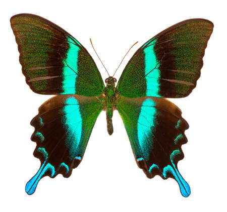 Le machaon de paon (Papilio Blumei) est un grand papillon bleu et vert endémique d'Indonésie. Isolé sur blanc Banque d'images