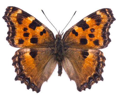 Large tortoiseshell butterfly (Nymphalis polychloros) isolated on a white background Stock Photo