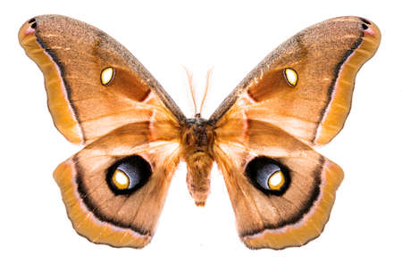 Antheraea polyphemus moth isolated on white background 写真素材 - 97248922