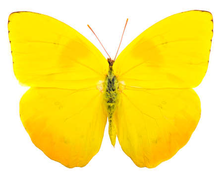 Orange-barred sulphur (Phoebis philea) butterfly native to America isolated on white